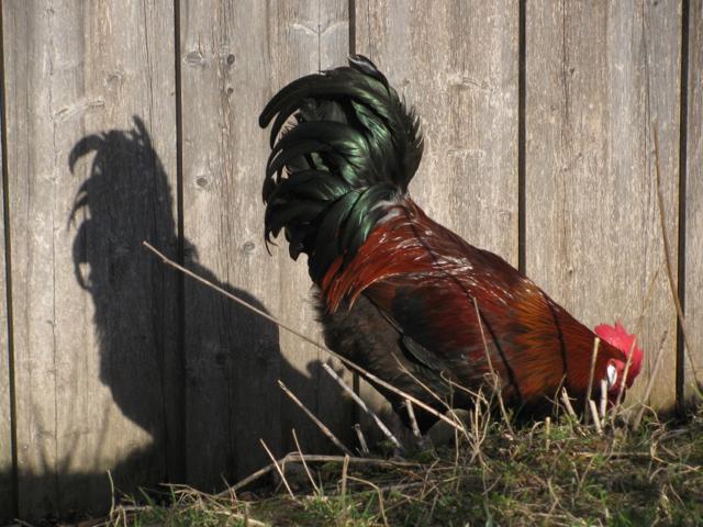 der Hahn und sein Schatten
